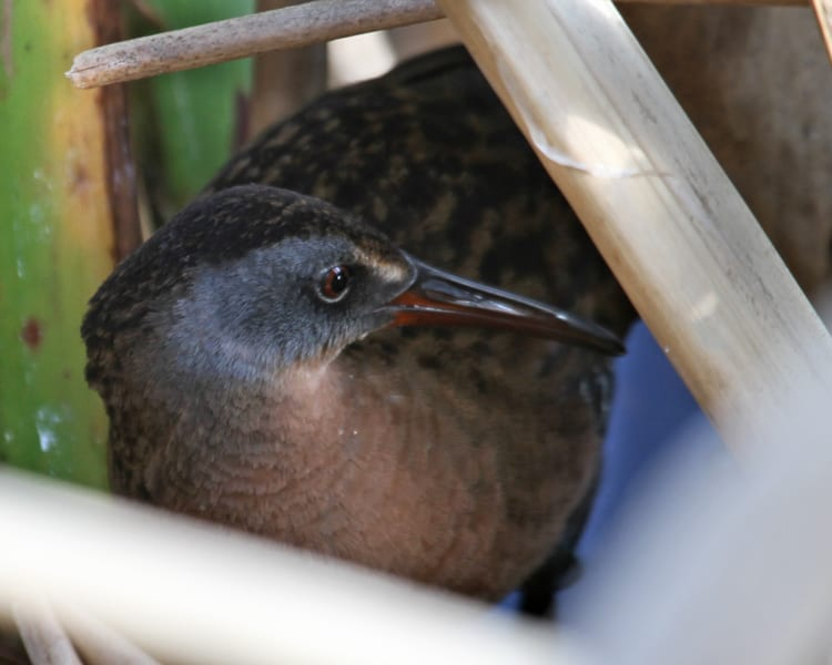 Virginia Rail close-up