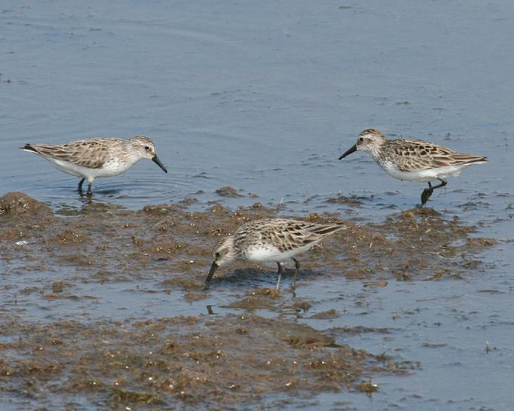 Semipalmated Sandpiper - group of three