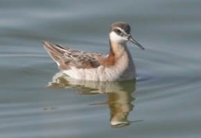 Wilson's Phalarope - female
