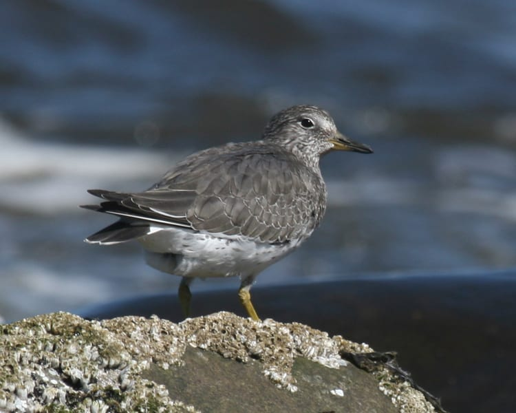 Surfbird - basic plumage