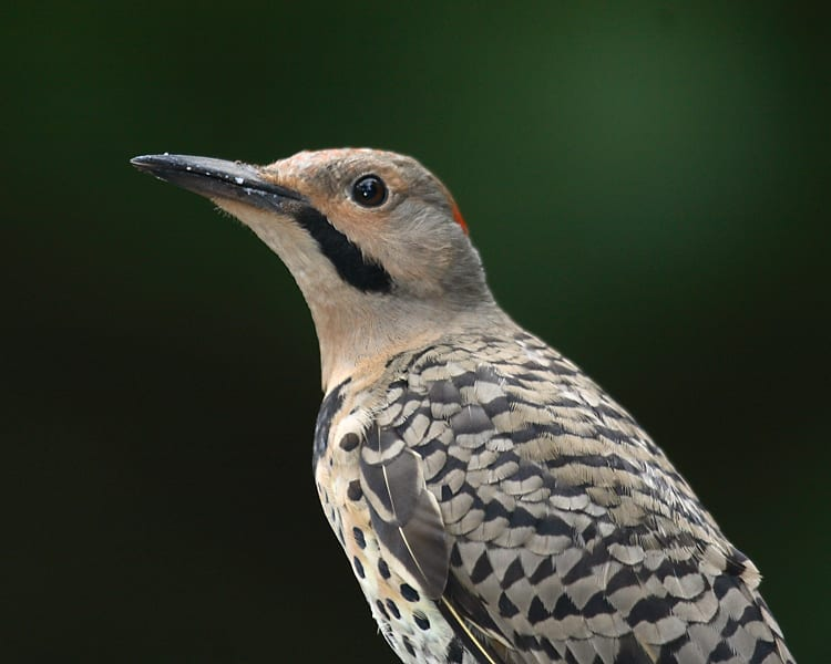 Northern Flicker - yellow-shafted