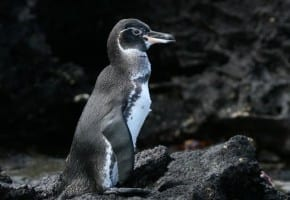 Galápagos Penguin