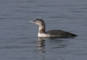Yellow-billed Loon - juvenile