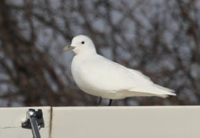 Ivory Gull