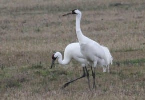 Whooping Crane - pair